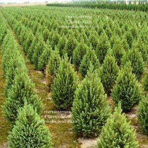 Ель канадская Коника (Picea glauca Conica) ФОТО Питомник растений Природа Priroda (179)