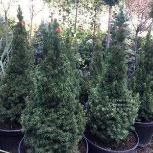 Ель канадская Коника (Picea glauca Conica) ФОТО Питомник растений Природа Priroda (171)