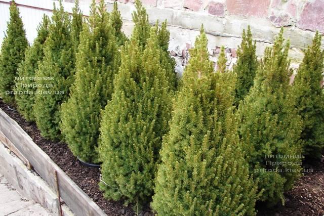 Ель канадская Коника (Picea glauca Conica) ФОТО Питомник растений Природа Priroda