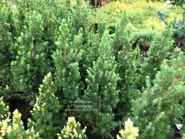 Ель канадская Коника (Picea glauca Conica) ФОТО Питомник растений Природа Priroda (183)