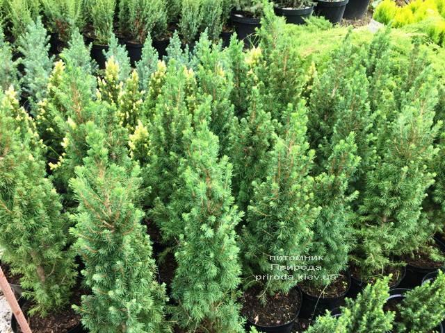 Ель канадская Коника (Picea glauca Conica) ФОТО Питомник растений Природа Priroda (186)