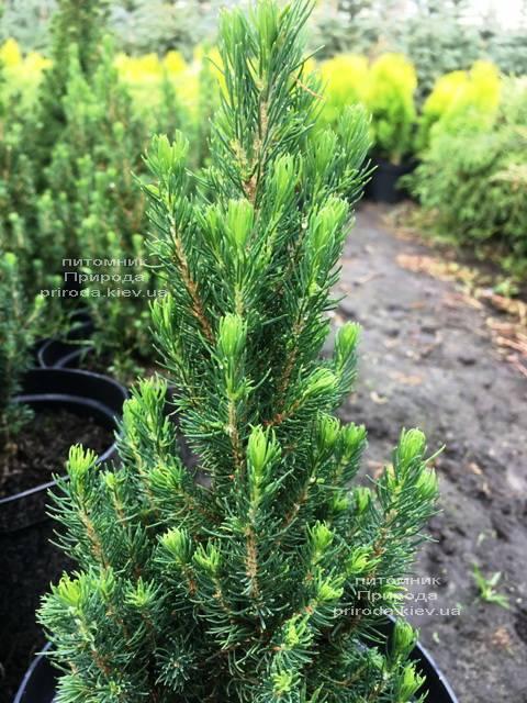 Ель канадская сизая Цукерхут (Picea glauca Zuckerhut) ФОТО Питомник растений Природа Priroda