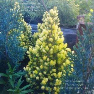 Ель канадская сизая Дэйзиз Уайт (Picea glauca Daisys White) ФОТО Питомник растений Природа Priroda (176)