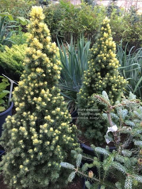 Ель канадская сизая Дэйзиз Уайт (Picea glauca Daisys White) ФОТО Питомник растений Природа Priroda (177)