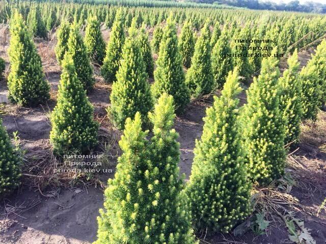 Ель канадская сизая Дэйзиз Уайт (Picea glauca Daisys White) ФОТО Питомник растений Природа Priroda (187)