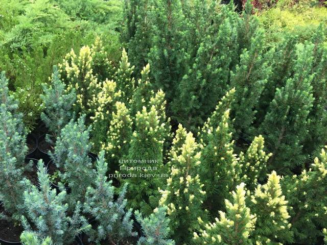 Ель канадская сизая Рейнбоуз Энд (Picea glauca Rainbows End) ФОТО Питомник растений Природа Priroda (165)