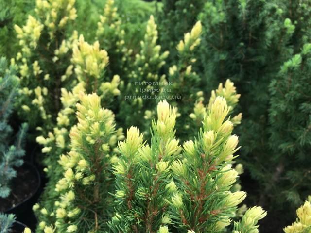 Ель канадская сизая Рейнбоуз Энд (Picea glauca Rainbows End) ФОТО Питомник растений Природа Priroda