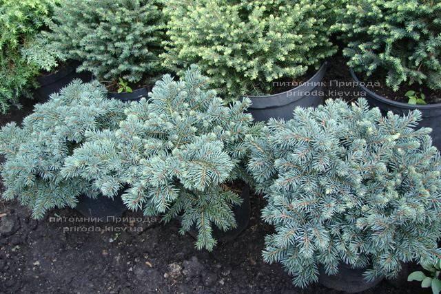 Ель колючая Вальдбрун (Picea pungens Waldbrunn) ФОТО Питомник растений Природа Priroda (222)