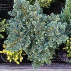 Ель колючая Вальдбрун (Picea pungens Waldbrunn) ФОТО Питомник растений Природа Priroda