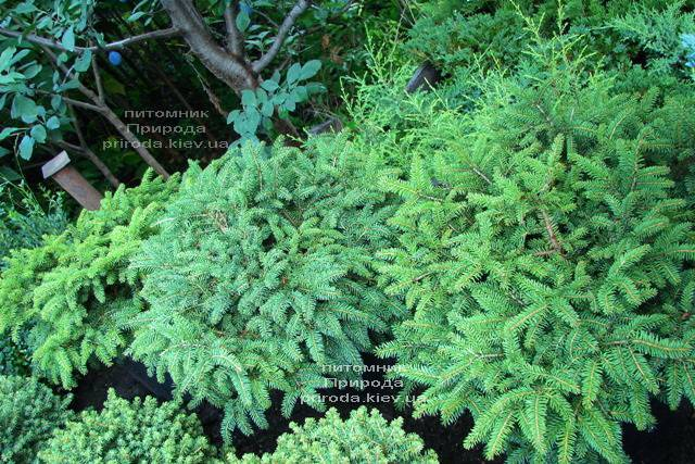 Ель обыкновенная Нидиформис (Picea abies Nidiformis) ФОТО Питомник растений Природа Priroda
