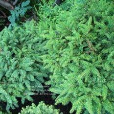 Ель обыкновенная Нидиформис (Picea abies Nidiformis) ФОТО Питомник растений Природа Priroda (218)