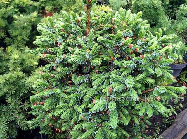 Ель сербская Нана (Picea omorika Nana) ФОТО Питомник растений Природа Priroda