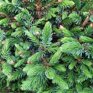 Ель сербская Нана (Picea omorika Nana) ФОТО Питомник растений Природа Priroda (225)