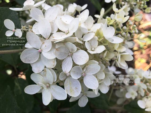 Гортензия метельчатая Юник (Hydrangea paniculata Unique) ФОТО Питомник растений Природа Priroda (9)