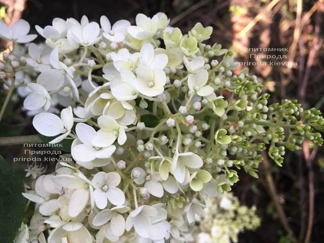 Гортензия метельчатая Юник (Hydrangea paniculata Unique) ФОТО Питомник растений Природа Priroda (10)