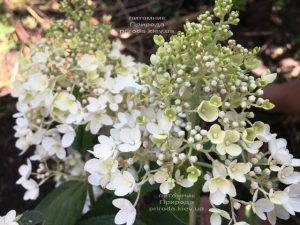 Гортензия метельчатая Юник (Hydrangea paniculata Unique) ФОТО Питомник растений Природа Priroda (11)