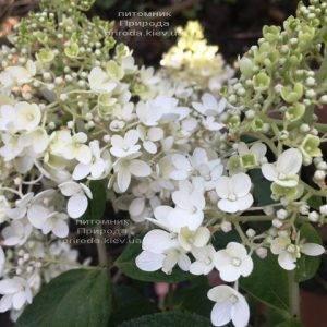 Гортензия метельчатая Юник (Hydrangea paniculata Unique) ФОТО Питомник растений Природа Priroda