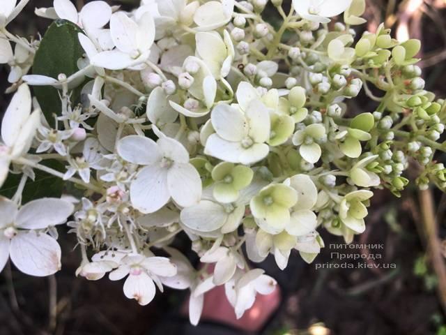 Гортензия метельчатая Юник (Hydrangea paniculata Unique) ФОТО Питомник растений Природа Priroda (13)