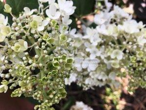Гортензия метельчатая Юник (Hydrangea paniculata Unique) ФОТО Питомник растений Природа Priroda (14)
