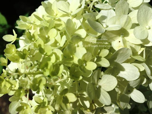 Гортензия метельчатая Юник (Hydrangea paniculata Unique) ФОТО Питомник растений Природа Priroda (15)