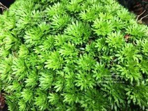 Камнеломка (Saxifraga) ФОТО Питомник растений Природа Priroda (1)