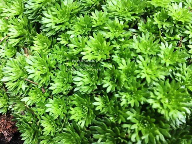 Камнеломка (Saxifraga) ФОТО Питомник растений Природа Priroda