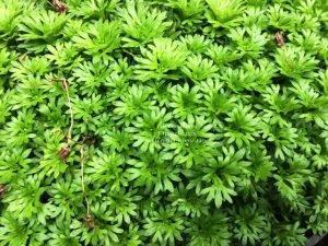 Камнеломка (Saxifraga) ФОТО Питомник растений Природа Priroda (3)