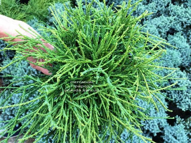 Кипарисовик горохоплодный Филифера Нана (Chamaecyparis pisifera Filifera Nana) ФОТО Питомник растений Природа Priroda (66)
