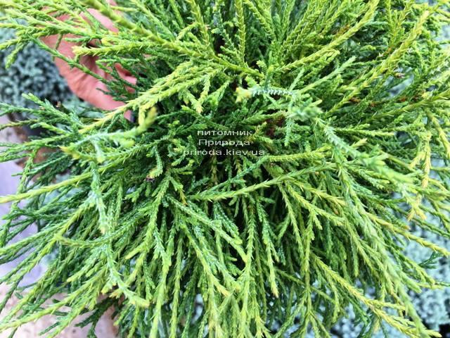 Кипарисовик горохоплодный Филифера Нана (Chamaecyparis pisifera Filifera Nana) ФОТО Питомник растений Природа Priroda (67)