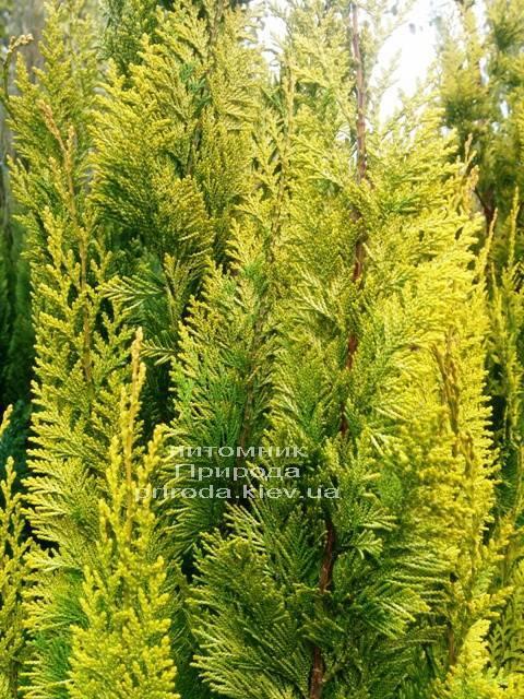 Кипарисовик Лавсона Ивонне (Chamaecyparis lawsoniana Ivonne) ФОТО Питомник растений Природа Priroda