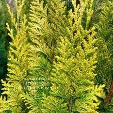 Кипарисовик Лавсона Ивонне/Ивон (Chamaecyparis lawsoniana Ivonne) ФОТО Питомник растений Природа Priroda