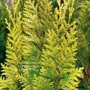 Кипарисовик Лавсона Ивонне (Chamaecyparis lawsoniana Ivonne) ФОТО Питомник растений Природа Priroda (75)