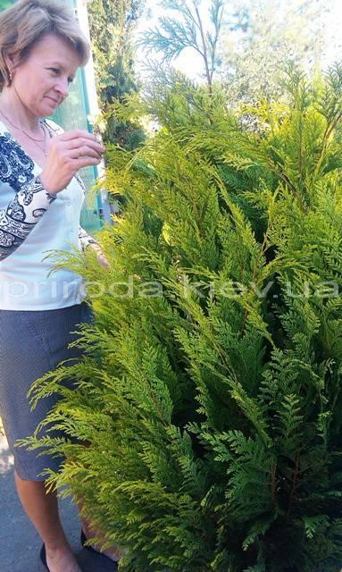 Кипарисовик Лавсона Ивонне (Chamaecyparis lawsoniana Ivonne) ФОТО Питомник растений Природа Priroda (76)