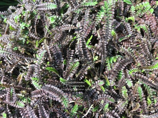 Лептинелла шероховатая (Котула) (Leptinella squalida Platt's Black) ФОТО Питомник растений Природа Priroda (1)