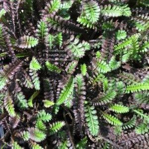 Лептинелла шероховатая (Котула) (Leptinella squalida Platt's Black) ФОТО Питомник растений Природа Priroda