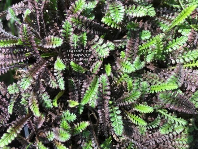 Лептинелла шероховатая (Котула) (Leptinella squalida Platt's Black) ФОТО Питомник растений Природа Priroda (4)