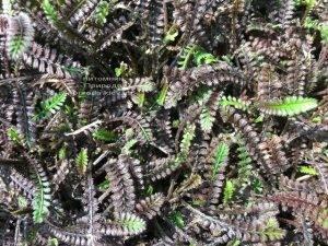 Лептинелла шероховатая (Котула) (Leptinella squalida Platt's Black) ФОТО Питомник растений Природа Priroda (5)