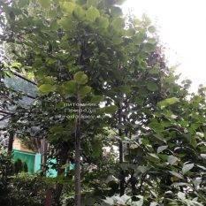 Липа крупнолистная (Tilia platyphyllos) ФОТО Питомник растений Природа Priroda