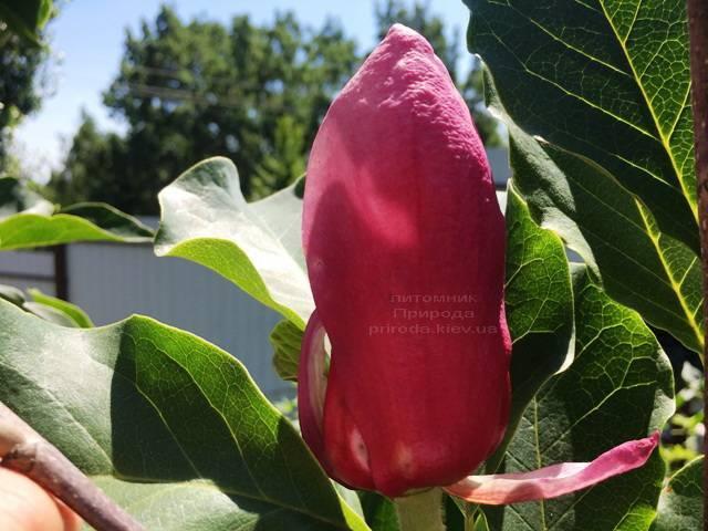 Магнолия March till Frost ФОТО Питомник растений Природа Priroda