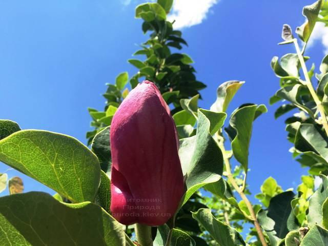Магнолия March till Frost ФОТО Питомник растений Природа Priroda (111)