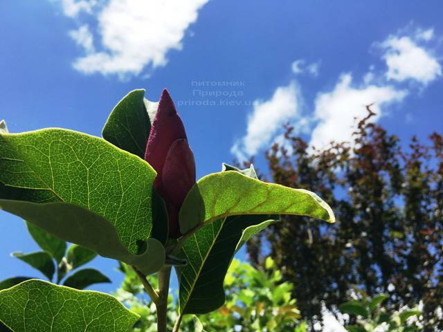 Магнолия March till Frost ФОТО Питомник растений Природа Priroda (114)
