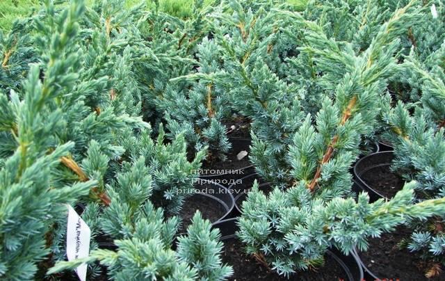 Можжевельник чешуйчатый Мейери (Juniperus squamata Meyeri) ФОТО Питомник растений Природа Priroda (231)