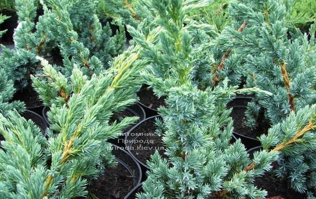 Можжевельник чешуйчатый Мейери (Juniperus squamata Meyeri) ФОТО Питомник растений Природа Priroda (232)