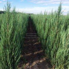 Можжевельник скальный Блю Арроу (Блю Эрроу) (Juniperus scopolorum Blue Arrow) ФОТО Питомник растений Природа Priroda