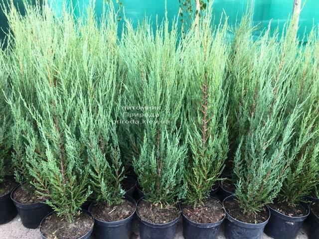 Можжевельник скальный Блю Арроу (Блю Эрроу) (Juniperus scopolorum Blue Arrow) ФОТО Питомник растений Природа Priroda (216)