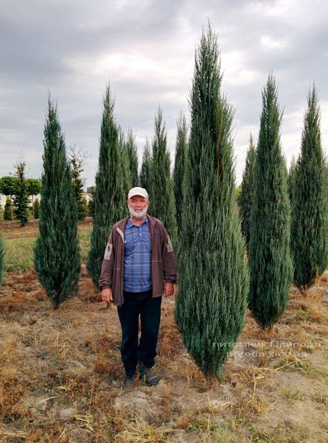 Можжевельник скальный Блю Арроу (Блю Эрроу) (Juniperus scopolorum Blue Arrow) ФОТО Питомник растений Природа Priroda (218)