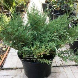 Можжевельник казацкий (Juniperus sabina) ФОТО Питомник растений Природа Priroda (229)