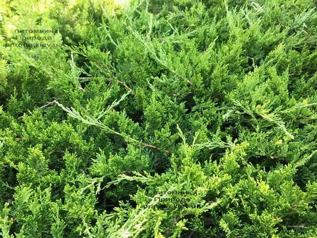 Можжевельник казацкий Рокери Джем (Juniperus sabina Rockery Gem) ФОТО Питомник растений Природа Priroda (224)
