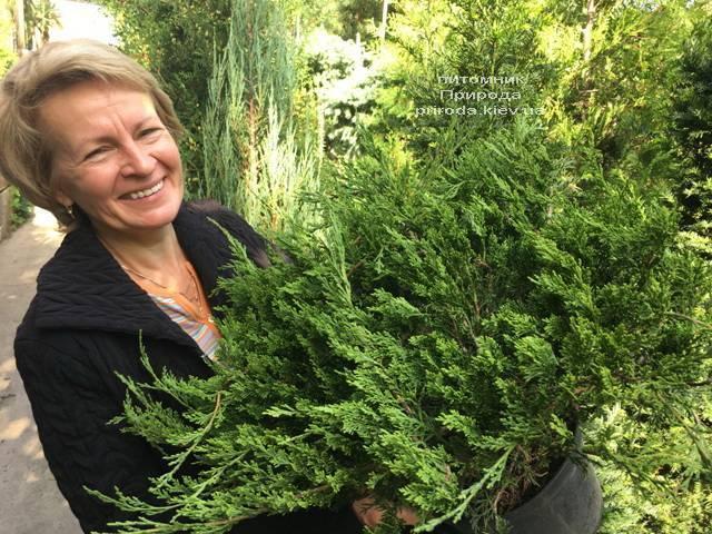 Можжевельник казацкий Рокери Джем (Juniperus sabina Rockery Gem) ФОТО Питомник растений Природа Priroda