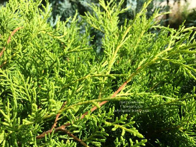 Можжевельник средний Кинг оф Спринг (Juniperus media King of Spring) ФОТО Питомник растений Природа Priroda (222)